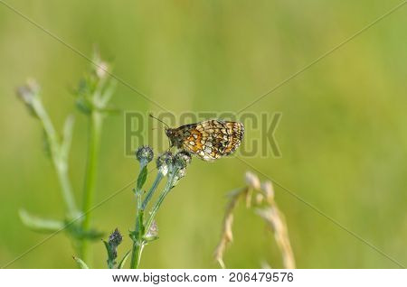 The heath fritillary (Melitaea athalia) sitting on the grass blade with green background