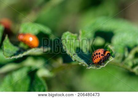the larvae of Colorado beetle on leaf potato pests eat the leaves