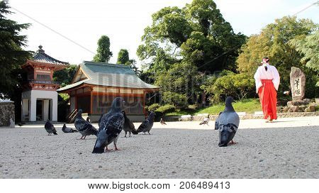 A kit of pigeons (or doves?) hanging around Japanese Shrine. There's also a Miko (priestess) behind them. Pic was taken in August 2017.
