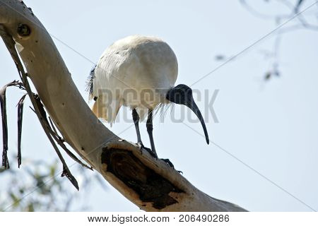 the white ibis is perched high in a tree