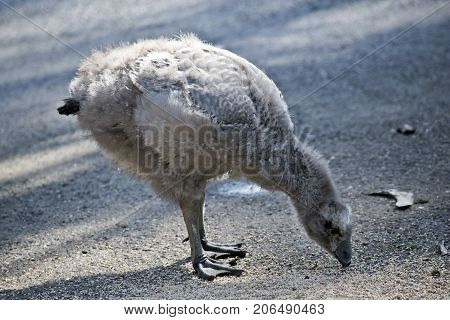 the Cape Barren gosling is looking for food