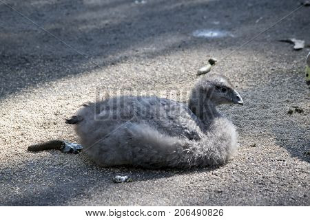 this is a side view of a Cape Barren gosling