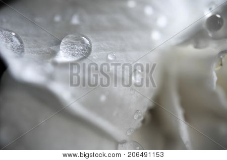 A Gardenia jasminoides flower in rain drops against a dark background. A white Gardenia jasminoides flower, another name of this flower is Cape jasmine, Gardenia jasmine
