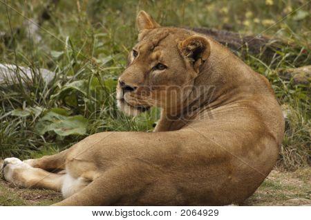 African Lioness Portrait 1