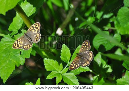 Couple of Speckled Wood butterfly,  Pararge aegeria. Butterfly is mostly common on the edge of the forest