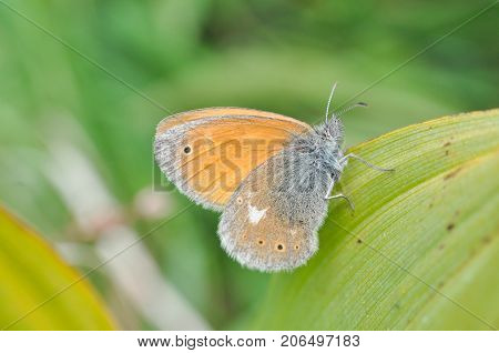 Coenonympha rhodopensis (eastern large heath) butterfly in grass. Small butterfly in meadow