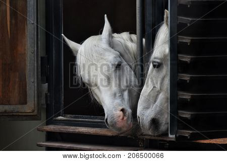 White horses looking out the window stables looking at each other.
