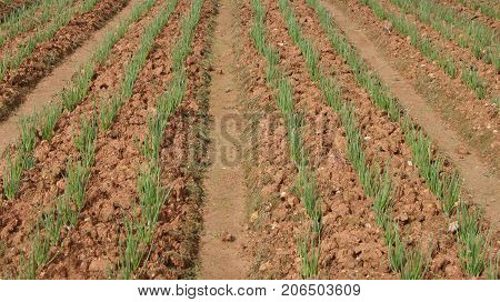 Green onion field, rows of onion at farm growing in summer time