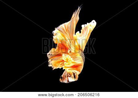 Capture The Moving Moment Of White Siamese Fighting Fish Isolated On Black Background. Betta Fish