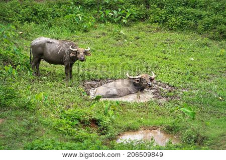 Swamp buffalo Asian Buffalo in the swamp in the field at top north Thailand