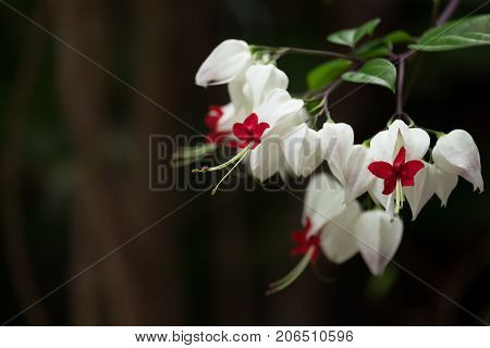 The white and red Bleeding Heart vine Clerodendron thomsoniae Flower