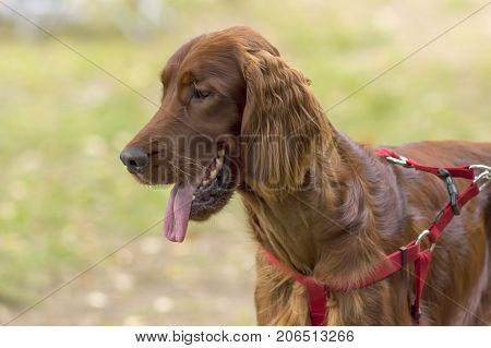 Setter, a group of breeds of specialized hunting dogs, a long-haired species of English dog-dogs. Space under the text. 2018 year of the dog in the eastern calendar Concept: friend, protection, loyalty, vigilance, security