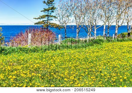 Yellow dandelion flowers and view of Saint Lawrence river in La Martre in the Gaspe Peninsula Quebec Canada Gaspesie region