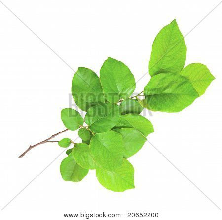 Gentle Green Branch Isolated On A White Background