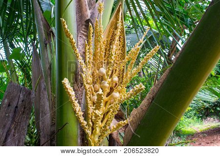 Coconut flower in Coconut tree,organic, tropical, drink, nature