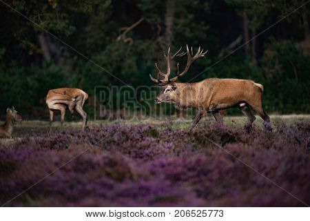 Red Deer Stag (cervus Elaphus) With Hinds In Blooming Heather.
