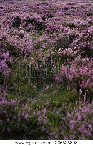 Moorland With Purple Blooming Heather. Veluwe. Netherlands.