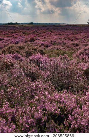 Blooming Moorland Under Cloudy Sky. Veluwe. The Netherlands.