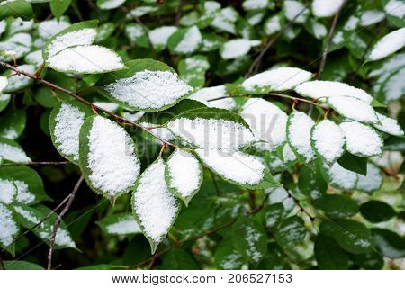 The first freeze. First snow. The first snow lies on the still green branches of a tree.