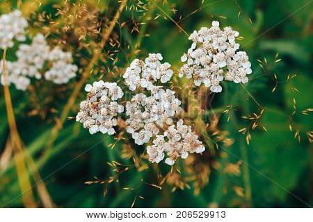 White yarrow on a background of green grass