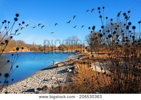 birds sanctuary at accumulation lake ismaning munich in autumn with flying gooses