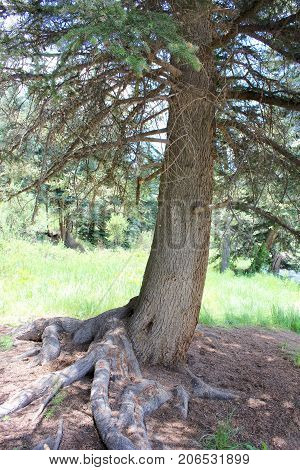 Tall pine tree with big roots in the forest