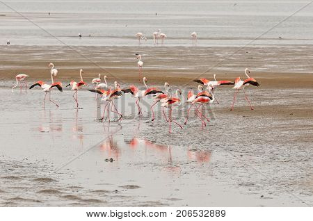 Greater Flamingos Phoenicopterus ruber roseus with wings extended in the lagoon at Walvis Bay in the Namib Desert on the Atlantic Coast of Namibia
