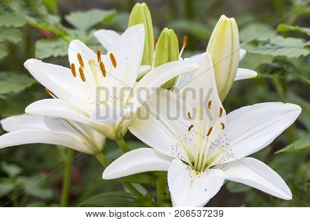 White lilium flower, Lilieae in nature. Close up