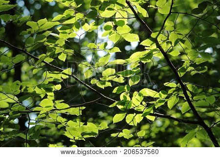 Bright spring leaves in the natural environment. Hornbeam trees fresh and green nature background