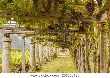 pylons stone and lime columns and chestnut poles support the pergola of rows of grapes the typical agricultural architecture of the vineyards of Carema, in Piedmont, Italy