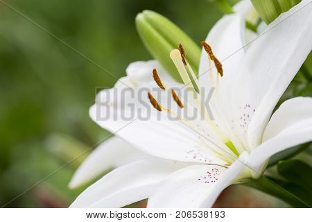Wellness. White Lilium flower on natural green background. Macro, close up.