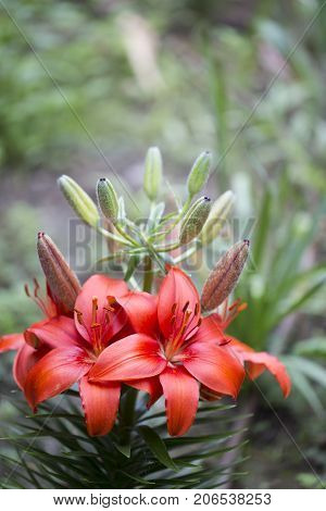 Red Lilium flower at flower garden. Close up