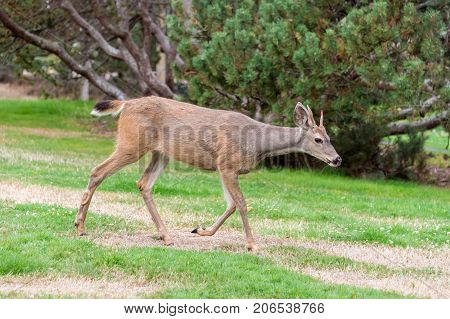 Female black tailed deer in Beacon Hill Park Victoria British Columbia Canada