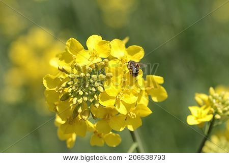 Single yellow rapeseed in spring with a bee gathering honey. Rapeseed (Brassica napus) oil seed rape