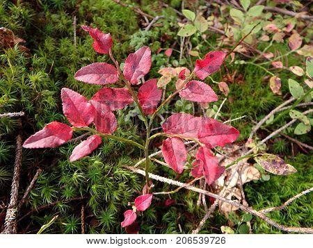 Blueberry bush in autumn , Leaves blueberries in autumn ,  (Vaccinium myrtillus)