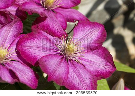 Beautiful pink Clematis flower, macro, close up