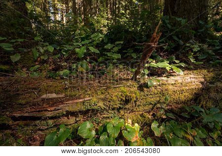 Fallen Redwood Tree in Northern California Forest, Color Image