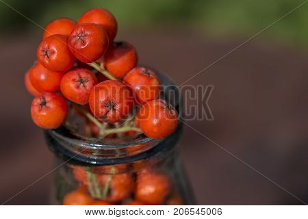 Ripe red fruits of mountain ash (Sorbus aucuparia) are located in the old glass bottle. Close-up.