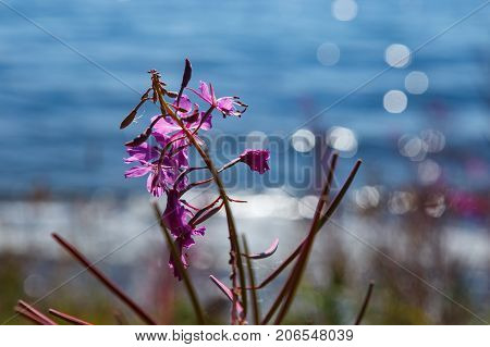 Willow herb flower with blue water on background