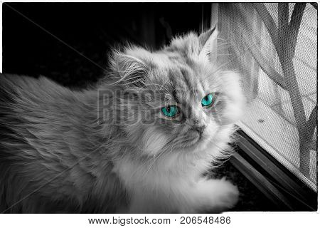 Persian Cat with a Pair of Turquoise Eyes next to the Window