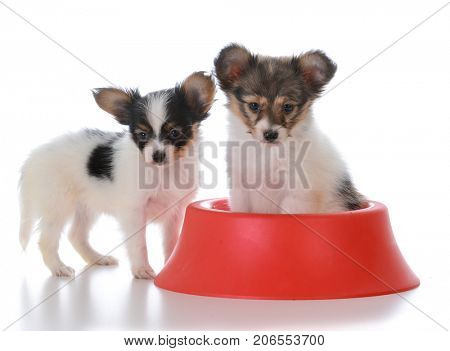 papillon puppy litter mates with a red dog dish on white background