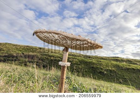 Close up of a large Parasol Mushroom in the countryside