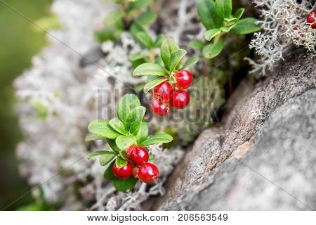 Cowberry grows among moss in the forest. Karelia. Russia