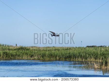 Whiskered tern flying in italian pond; specie Chlidonias hybrida family of Laridae poster