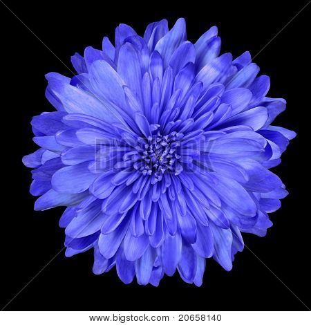 Deep Blue Chrysanthemum Flower Isolated Over Black