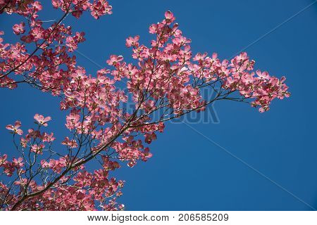 Beautiful pink dogwood tree in springtime, closeup