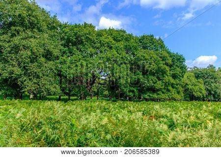 Ferns field in front of a tree line at summertime in the English countryside