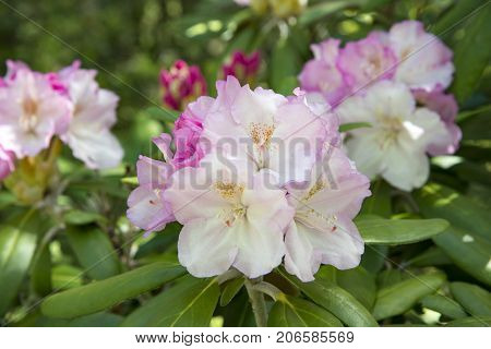 Beautiful pnk and white rhododendron flowers focus on front flower