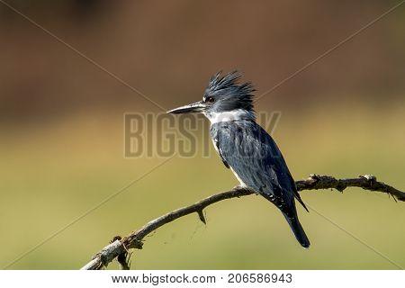 Alert kingfisher perched on branch near Hauser Lake Idaho.