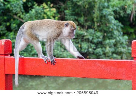 Wild Long-tailed Macaque In Singapore